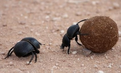 Types of Dung Beetles